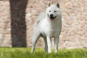 北海道犬の写真